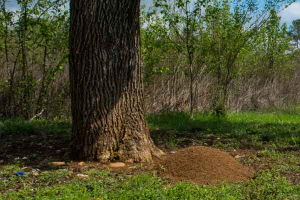 giant ant hill next to a tree