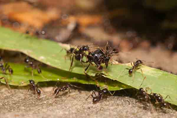 a group of big-headed ants
