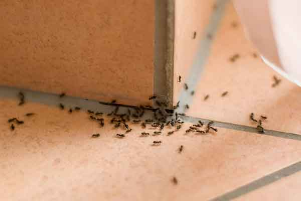 a group of white-footed ants