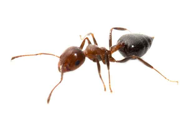 a white-footed ant