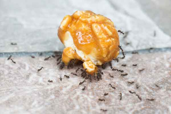 a group of white-footed ants eating a stray piece of popcorn