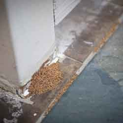 Differences Between Drywood and Subterranean Termites