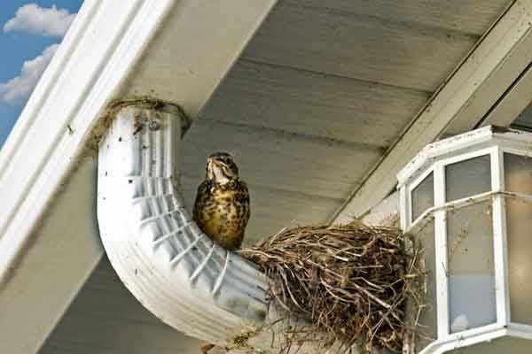 a bird nesting on a downspout