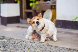 dog scratching for fleas