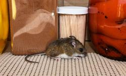 mouse in a pantry