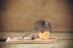 mouse sitting on a piece of cheese in a trap