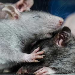 two mice together