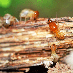 the termite castes: workers, soldiers, and reproductive termites
