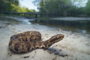 Snakes: more than just scary. Scaley skin and slithery movements creep us out, but they become a problem when they are venomous. Cottonmouths, diamondbacks, and rattlesnakes are known venomous species in Flordia and Georgia.