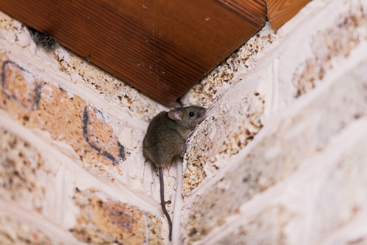 A small gray mouse in the corner of a room.