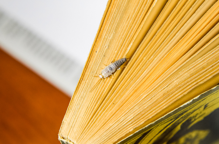 Silverfish crawling in between pages of a yellowing book.
