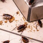 Cockroaches eating crumbs on a tile kitchen floor.