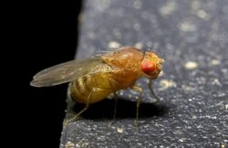 A small yellow fruit fly, or gnat, with red eyes.