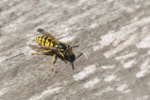 A yellow jacket on a piece of wood.