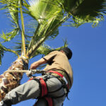 A tree surgeon wearing a harness uses a corvellot to prune a palm tree.